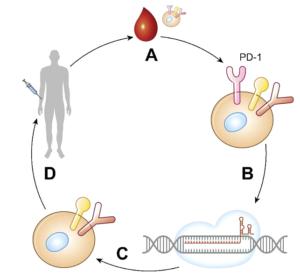 CRISPR Cas9 therapeutic tool